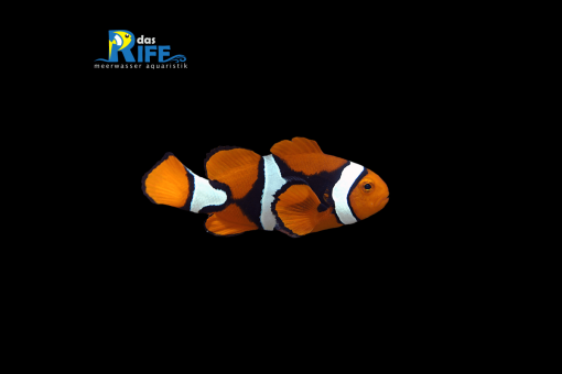 Amphiprion percula Trauerband-Anemonenfisch
