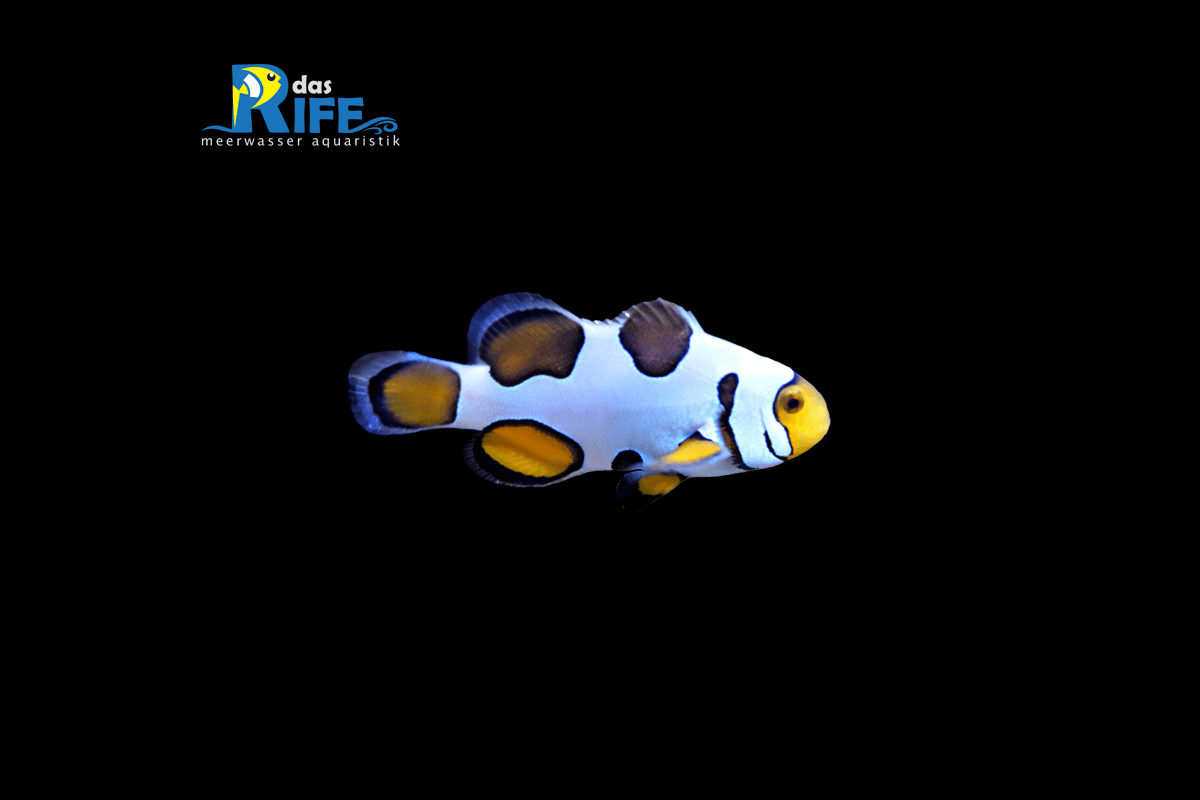 Amphiprion Percula Trauerband-Anemonenfisch Snowflake