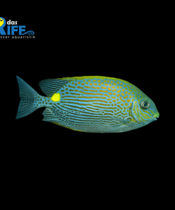 Siganus lineatus Goldfleck-Kaninchenfisch